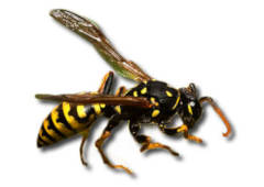 Wasps Nest Control / Removal in Braintree & Sudbury for Residential Customers