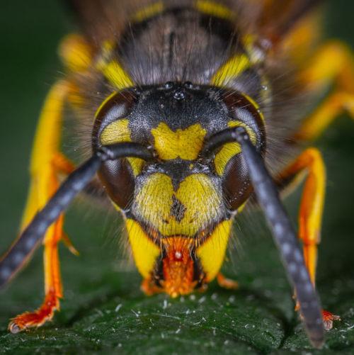 Wasp Face Close-Up