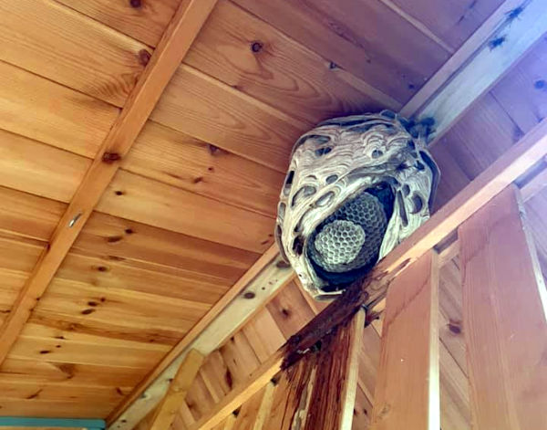 Wasps Nest Braintree in Shed