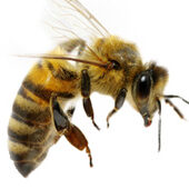 Bee Control Removal and Conservation